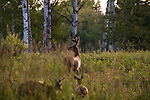 White-tailed bucks in velvet