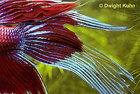 BY13-009z  Siamese Fighting Fish - male large showy fins - Betta splendens