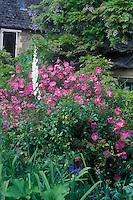 Cistus x purpureus (Orchid Rockrose) shrub in garden border with foxglove (Digitalis), house, wisteria vine