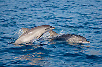 Atlantic spotted dolphins, Stenella frontalis, mother and calf porpoising, La Gomera, Canary Islands, Spain, Atlantic Ocean
