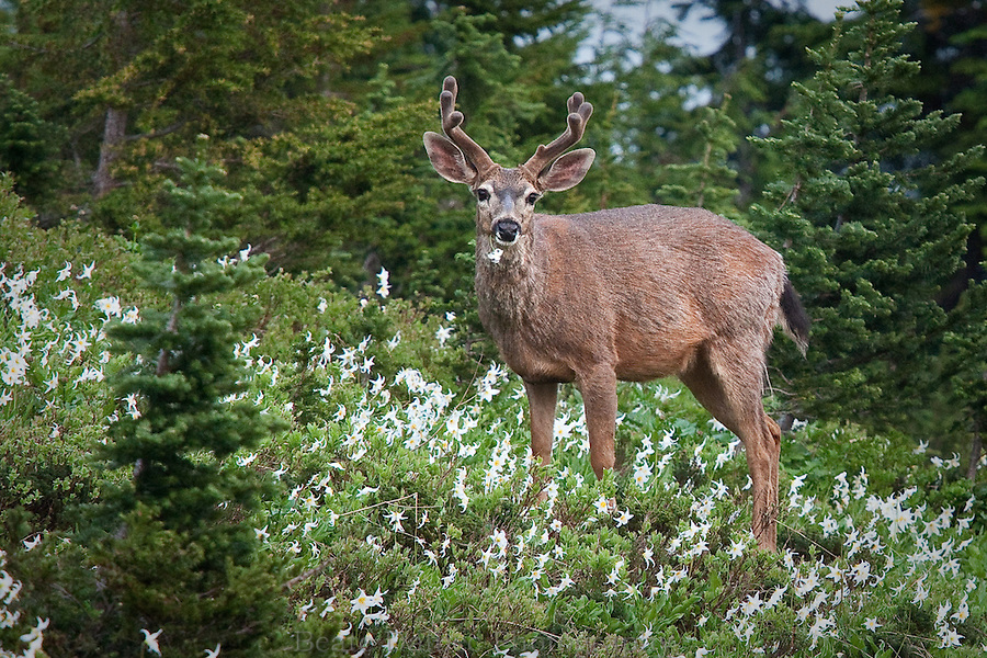 Buck eating Avalanche lilies in Mt. Rainier National Park, Washington State