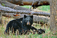Black Bear sow with young cub.  Western U.S., May.