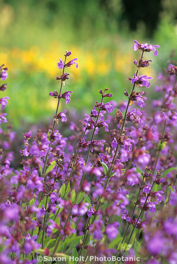 Culinary kitchen sage, Salvia officinalis, with blue flowers in herb garden