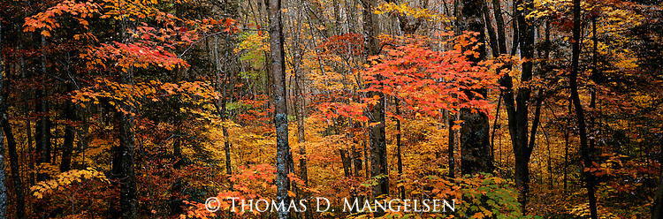 Fall color in a forest in Great Smoky Mountains National Park, Tennessee.