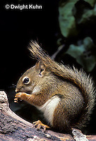 MA07-030b  Red Squirrel - sitting by tree cavity, eating seeds - Tamiasciurus hudsonicus