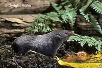 MU10-030z  Short-tailed Shrew - drinking from pool of water in leaf - Blarina brevicauda