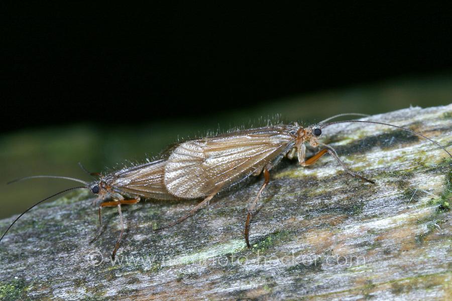 Köcherfliege, Paarung, Kopulation, Kopula, Chaetopteryx villosa, Köcherfliegen, caddisfly, pairing, sedge-fly, rail-fly, caddisflies, sedge-flies, rail-flies, Trichoptera