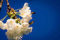 Bee on a cherrytree flower against a dark blue sky