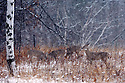 00275-195.13 White-tailed Deer (DIGITAL) Four does are feeding on goldenrod in meadow during a late fall snow storm.  Hunt, survive.  H3E1