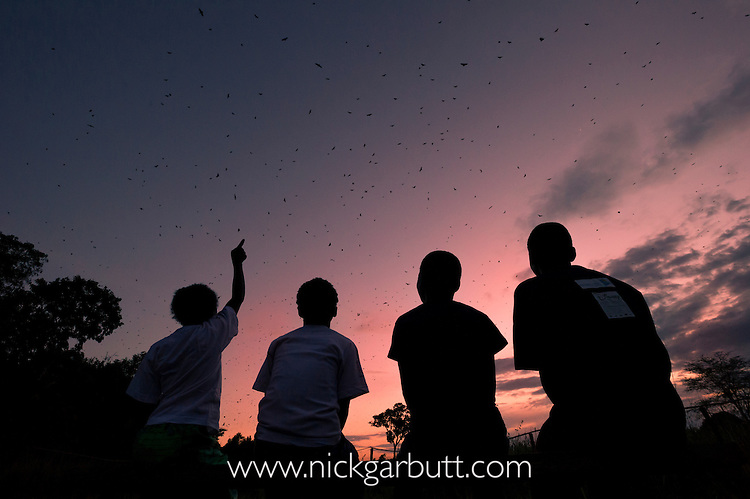 Local school children watching the mass aggregations of Straw-coloured Fruit Bat (Eidolon helvum) leaving their roost at dusk.  Kasanka National Park, Zambia.