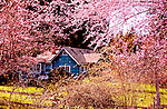Home on Orcas Island, WA with Plum Trees Blooming