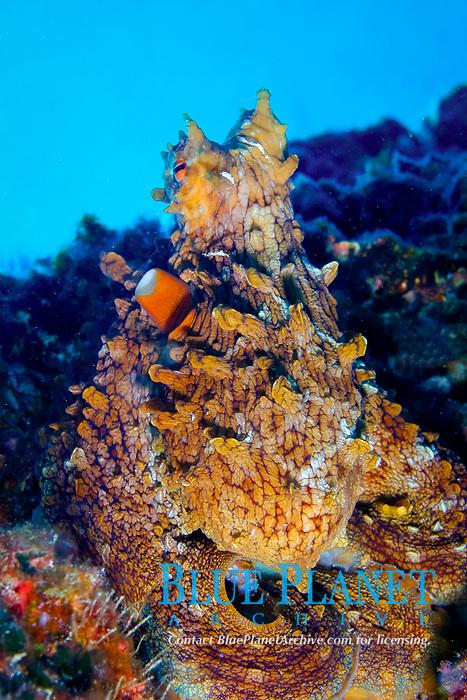 day octopus, Octopus cyanea, camouflaged, scouting, Kure, Papahanaumokuakea Marine National Monument, the largest marine wildlife reserve in the world, Northwestern Hawaiian Islands, or Leeward Islands, USA, Pacific Ocean
