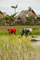 Rice fields during season, near<br /> Siem Reap <br /> , Cambodia<br /> <br /> PHOTO :  Agence Quebec Presse<br /> <br /> <br /> <br /> <br /> <br /> PHOTO : Agence Quebec Presse