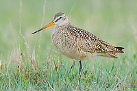 Adult Marbled Godwit (Limosa fedoa) in breeding (alternte) plumage. Alberta, Canada. May.