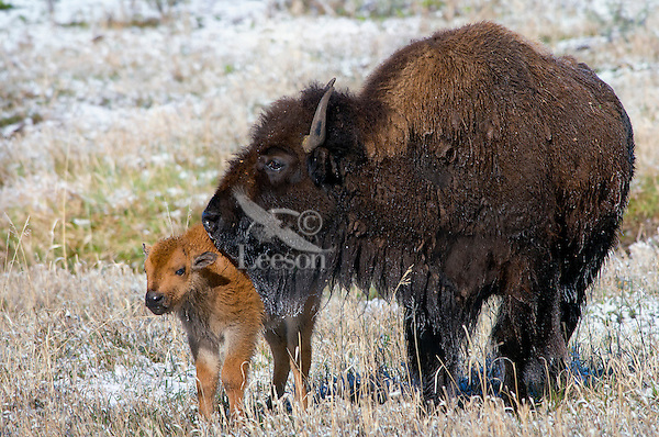 American Bison (Bison bison) cow with young calf after spring snow.  Yellowstone National Park.