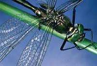 Glänzende Smaragdlibelle, Glänzende Smaragd-Libelle, Falkenlibelle, Männchen, Somatochlora metallica, Brilliant Emerald, male, Corduliidae, Falkenlibellen