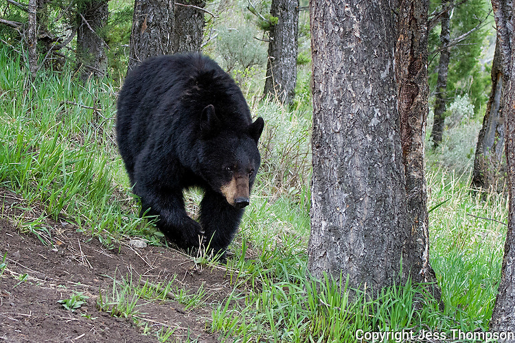 Black Bear called Rosie, Yellowstone National Park