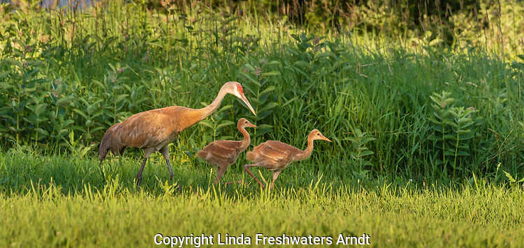 Family of sandhill cranes walking in a summer meadow in northern Wisconsin.