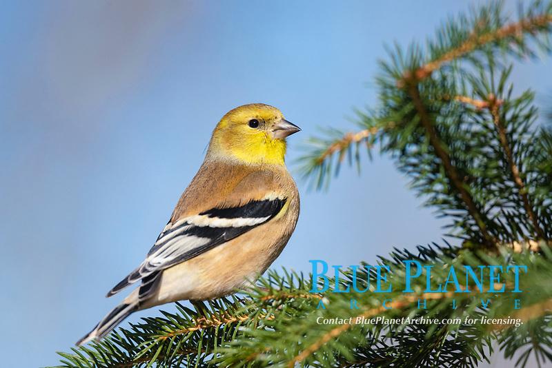 American goldfinch (Spinus tristis) songbird in winter Nova Scotia Canada