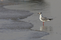 Grey-headed Gulls in St Louis, Senegal