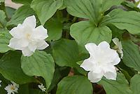Trillium grandiflorum 'Flore Pleno' double flowered Trillium with white flowers in spring