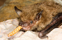 MA20-779z  Big Brown Bat eating insect prey,  Eptesicus fuscus