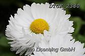 Gisela, FLOWERS, BLUMEN, FLORES, photos+++++,DTGK2380,#f#, EVERYDAY