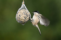 Weidenmeise, Mönchsmeise, an der Vogelfütterung, Weiden-Meise, Meise, Meisen, Poecile montanus, Parus montanus, willow tit, La Mésange boréale. Ganzjahresfütterung, Vögel füttern im ganzen Jahr, Vogelfutter der Firma GEVO, Meisenknödel