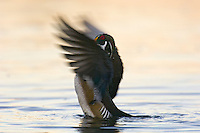 Wood DUCK (Aix sponsa) drake drying wings.  Pacific Northwest.  Winter.  Sunrise.