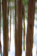 Abstract of softwood forest along the Lincoln Woods Trail in Lincoln, New Hamapshire USA