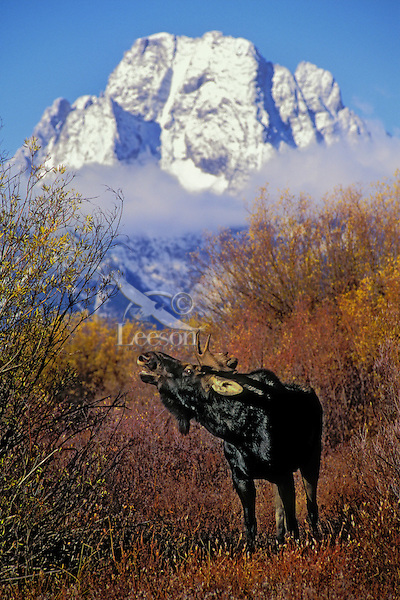 BULL MOOSE in mating season. Sniffing for odoriferous clues indicates sexual excitement. Autumn. Grand Teton National Park, Wyoming. U.S.A. (Alces alces).