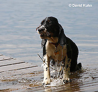 0808-0808  Tricolor English Springer Spaniel Climbing out of Water onto Dock, Canis lupus familiaris © David Kuhn/Dwight Kuhn Photography.