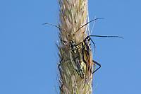 Langhaarige Dolchwanze, Graswanze, Gras-Wanze, Paarung, Kopulation, Kopula, Pärchen, Leptopterna dolabrata, Miris dolabratus, meadow plant bug, pairing, Weichwanze, Miridae