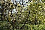 Israel, Sharon, Mount Tabor Oaks in Alonei Yitzhak forest..