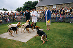 Puppy show held annually during the summer to find the best hound. Quantock Staghounds Somerset and Exmoor Devon  1990s Uk. 1997