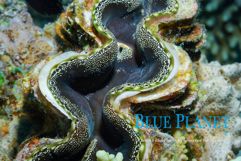 Giant clam, Tridacna squamosa, off coast of Hurghada, Red Sea, Egypt
