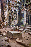 Cambodia.  Ta Prohm Temple Ruins, 12th-13th. Century.  Tree Growing among the Ruins.