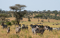 A herd of Grant's Zebras, Equus quagga boehmi, in Serengeti National Park, Tanzania