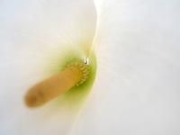 BOGOTÁ-COLOMBIA-27-01-2013. Cartucho Blanco, Nombre científico, Zantedeschia aethiopica. Cartridge white, Zantedeschia aethiopica. (Photo:VizzorImage)