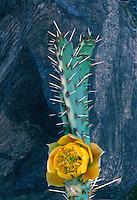Desert prickly-pear,  220 Mile Canyon<br /> Grand Canyon<br /> Grand Canyon National Park <br /> Colorado Plateau, Arizona