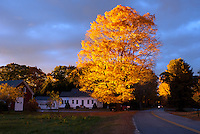 Gorgeous evening light shines on gold maple tree -- Ablaze, Yarmouth Maine, USA