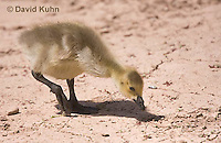 0224-1210  Canadian Gosling Foraging for Food (Canada Goose, Canadian Goose), Branta canadensis  © David Kuhn/Dwight Kuhn Photography