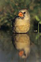 Northern Cardinal, Cardinalis cardinalis,female bathing, Willacy County, Rio Grande Valley, Texas, USA, March 2004