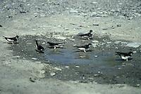 Mehlschwalbe, sammelt Schlamm, Lehm in einer Pfütze zum Nestbau, Mehl-Schwalbe, Schwalbe, Delichon urbicum, Delichon urbica, common house martin