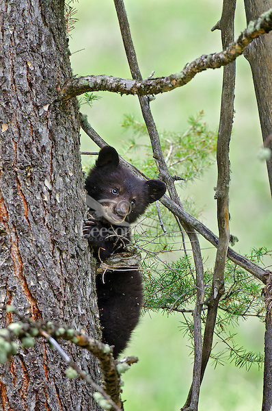 """Wild Black Bear (Ursus americanus) cub climbing tree.  Western U.S., spring. (This is what is known as a """"coy""""--cub of the year.)"""