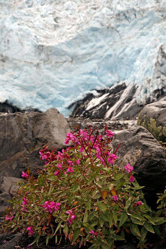 Fireweed and Coxe Glacier, Harriman Fiord, Harriman Fiord, Prince William Sound, Chugach National Forest, Alaska.