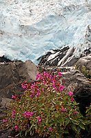 Fireweed and Coxe Glacier, Harriman Fiord, Harriman Fiord, Prince William Sound, Chugach National Forest, Alaska.