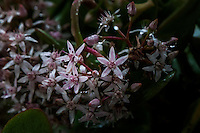 Tiny and delicate and wearing drops of rain - flowers on the jade plant at my front door.  An image from 'The Yard' on a rainy afternoon.