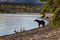 Brown bear sow and cubs along the shore of Naknek lake, Katmai National Park, Alaska.