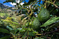 Green avocados are seen growing on a tree at a plantation near Sonsón, Antioquia department, Colombia, 16 October 2019. Over the past decade, the Colombian avocado industry has experienced massive growth, both as a result of general economic development in Colombia, and the increased global demand for so-called superfood products. The geographical and climate conditions in Antioquia (high altitude, no seasonal extremes, high precipitation rate) allow two harvest windows of the Hass avocado variety across the year. Although the majority of the Colombian avocado exports are destined towards Europe now, Colombia aspires to become one of the major avocado suppliers to the U.S. market in the near future.